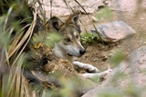 Mexican Gray Wolf Photographic Print by Bob Gibbons