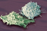 Macrophage Cells, SEM Photographic Print by Steve Gschmeissner
