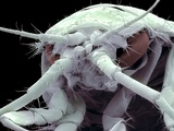 Freshwater Shrimp, SEM Photographic Print by Steve Gschmeissner