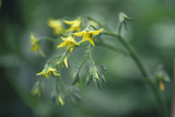 Tomato Plant Flowers Photographic Print by Duncan Smith