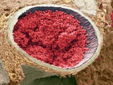 Blood-filled Foetal Aorta, SEM Photographic Print by Steve Gschmeissner