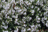 Heather 'Springwood White' Flowers Photographic Print by Adrian Thomas