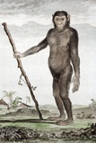 1770 Buffon's Jocko a Chimpanzee Prints by Paul Stewart