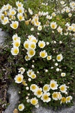 Mountain Avens (Dryas Octopetala) Prints by Bob Gibbons