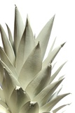 White Pineapple Reproduction photographique par Neal Grundy