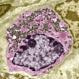 Intestinal Endocrine Cell, TEM Photographic Print by Steve Gschmeissner
