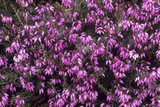 Heather 'Late Pink' Flowers Photographic Print by Adrian Thomas