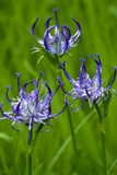 Phyteuma Orbiculare Posters by Bob Gibbons