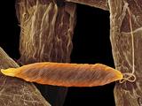 Euglena Flagellate Protozoan, SEM Prints by Steve Gschmeissner