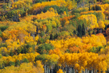 Aspens In Autumn, British Columbia Prints by Kaj Svensson