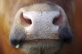 Cow Muzzle Photographic Print by Bjorn Svensson