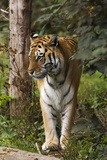 Tiger Walking Prints by Denise Swanson