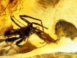 Spider In Amber Photographic Print by Sinclair Stammers