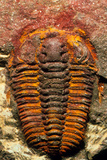 Trilobite Fossil Posters by Sinclair Stammers