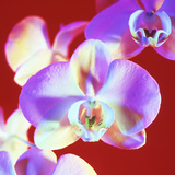 Orchid Flowers Photographic Print by Johnny Greig