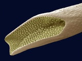 Mosquito Pupa Respiratory Tube, SEM Photographic Print by Steve Gschmeissner