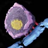 Simian Immunodeficiency Virus (SIV) Photographic Print by Sriram Subramaniam