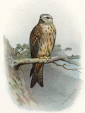 Red Kite, Historical Artwork Prints by Sheila Terry