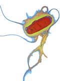 E. Coli Bacterium Photographic Print by Dr. Linda Stannard