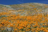 Californian Poppies (Eschscholzia) Photographic Print by Bob Gibbons