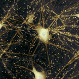 Motor Neurons, Light Micrograph Photographic Print by Steve Gschmeissner