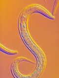 C. Elegans Worm Photographic Print by Sinclair Stammers