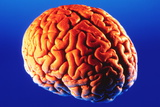 Human Brain Photographic Print by Volker Steger