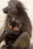 Mother And Baby Chacma Baboon Photographic Print by Bob Gibbons