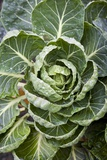 Brussels Sprout Plant Photographic Print by Jon Stokes