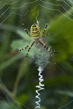 A Female Wasp Spider Photographic Print by Bob Gibbons