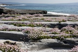 Armeria (Sea Thrift) Prints by Bob Gibbons
