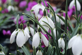 Snowdrop 'Oliver Wyatt's Giant' Flowers Photographic Print by Adrian Thomas