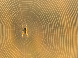 Garden Spider on An Orb Web Photographic Print by Bob Gibbons