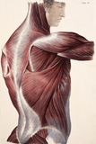 Muscles of the Side And Back Posters by Sheila Terry