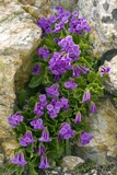 Sticky Primrose (Primula Glutinosa) Posters by Bob Gibbons