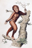 1812 Orang Utan Prints by Paul Stewart