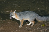A Gray Fox Feeding At Night Photographic Print by Bob Gibbons