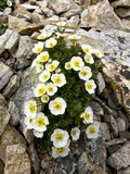 Glacier Crowfoot (Ranunculus Glacialis) Photographic Print by Bob Gibbons