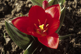 Tulip (Tulipa 'Showwinner') Photographic Print by Adrian Sumner