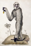 1812 Lar Gibbon Yeti Look-alike Hylobates Photographic Print by Paul Stewart