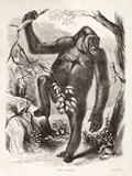 1861 Du Chaillu Ape the Gorilla Photographic Print by Paul Stewart
