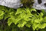 Gymnocarpium Robertianum Prints by Bob Gibbons