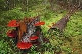 Reishi Fungus Photographic Print by Bjorn Svensson