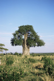 Baobab Tree (Adansonia Digitata) Photographic Print by Adrian Sumner