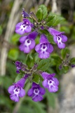 Alpine Basil-thyme (Acinos Alpina) Prints by Bob Gibbons