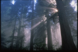 Light Coming Through Redwood Trees. Photographic Print by Kaj Svensson