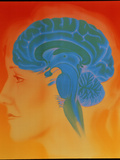 Human Brain Photographic Print by David Gifford