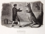 1806 Boxing Australian Kangaroo In Zoo Prints by Paul Stewart