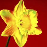 Daffodil (Narcissus Sp.) Photographic Print by Johnny Greig