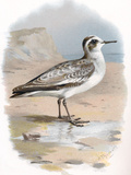 Grey Phalarope, Historical Artwork Premium Photographic Print by Sheila Terry